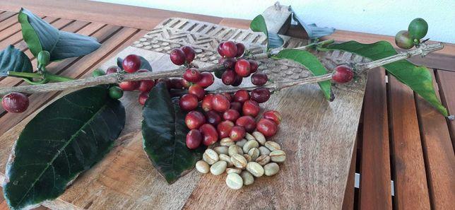 Plantas de Café Arábica