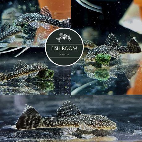Zbrojnik Glonojad (Fish Room Jaworzno)