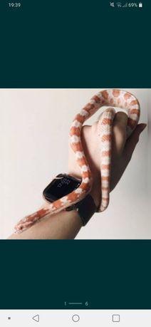 Wąż zbożowy candy snow albinos dorosly