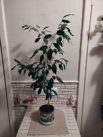 Фикус Бенджамина, сорт Даниэль. Комнатные растения. Цветы.