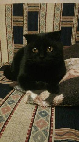 Шотландский вислоухий кот ищет прямоухую кошку для вязки