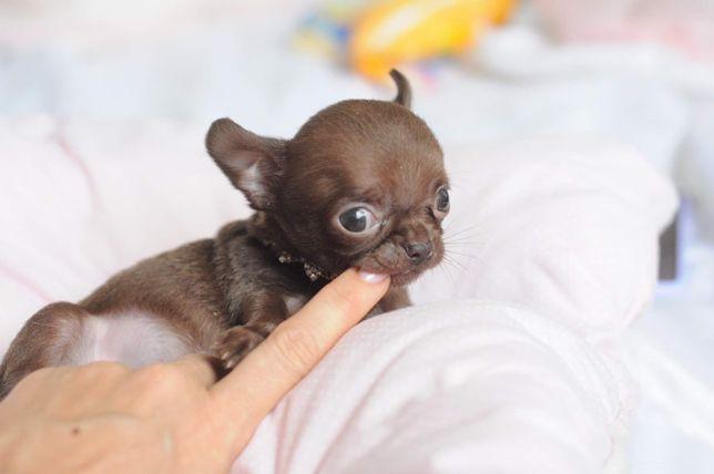 ultra mini chihuahua fci czekoladowy chłopak
