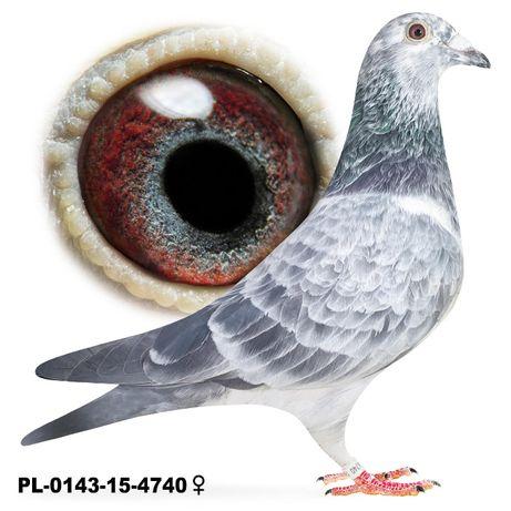 Młode 2021 Para nr 4, 100 % A.M Wiosna gołąb gołębie pocztowe, Szpak