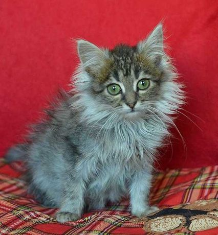 Пухнаста крихітка Фая 3 міс шукає сім'ю! кішка.кошеня.коти.