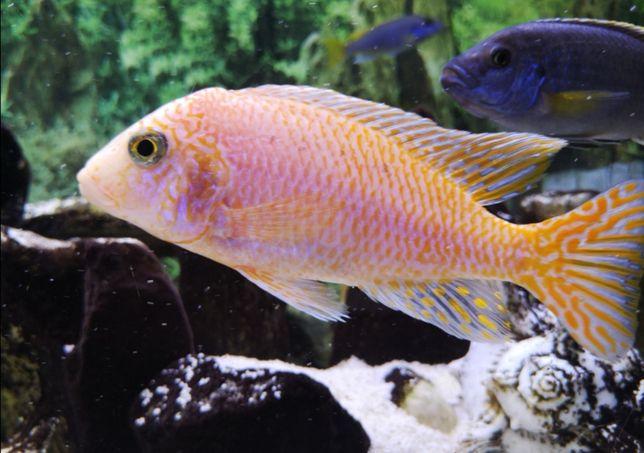 Pyszczaki ryby akwariowe