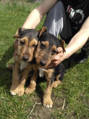 Pieski szczeniaczki za darmo