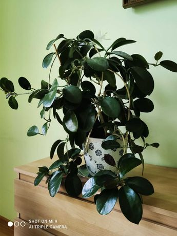 Hoja - roślina doniczkowa