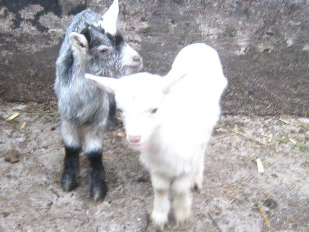 Продам козу дойную.