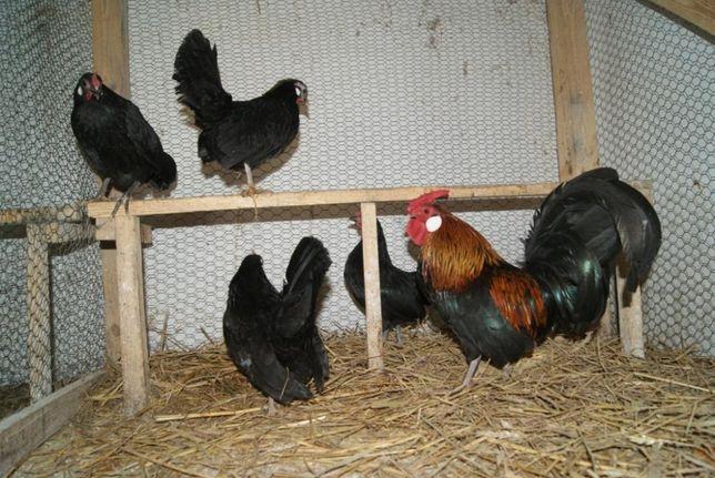 Jaja lęgowe jajka bantamka bantamek bantamki kury ozdobne