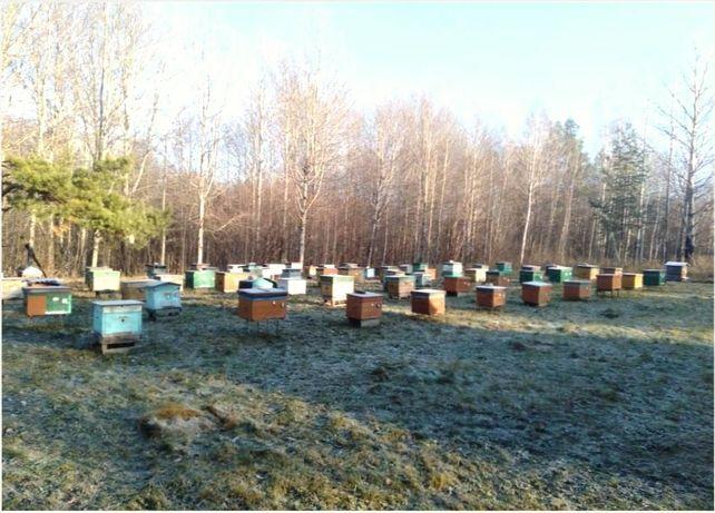 Бджолині матки Украинская степная породная. Все плодные 2021г. Вывод