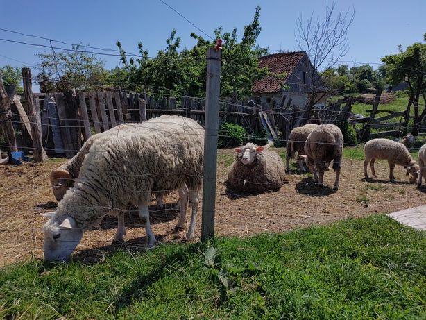 Owce i jagnięta rasy miesnej