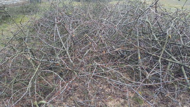 Gałęzie z drzew owocowych! Oddam za darmo