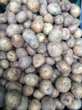 Продається дрібна картопля і буряк