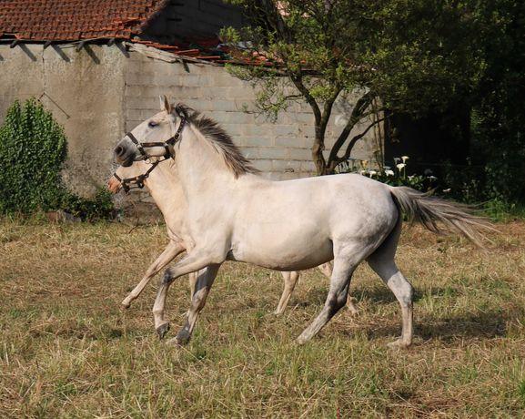 Égua  PSLusitana pontuada
