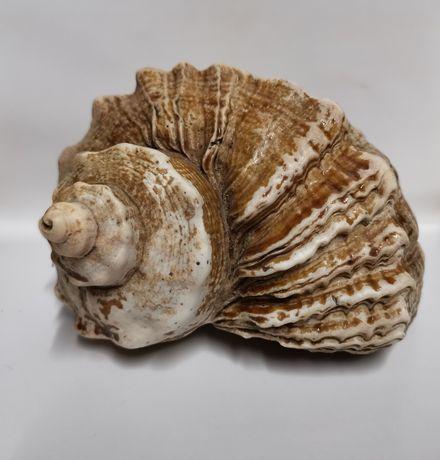 Ракушка раковина морская большая