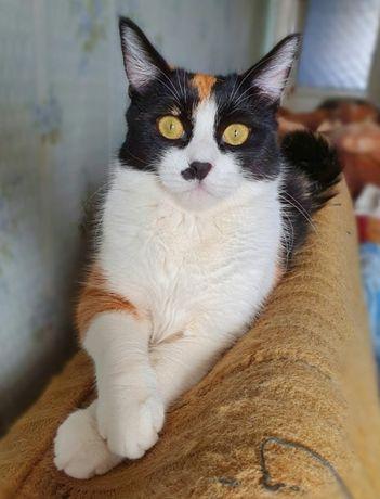 трехцветка Ева 8 мес.стерильна. Котики, котята, кошечка, кот