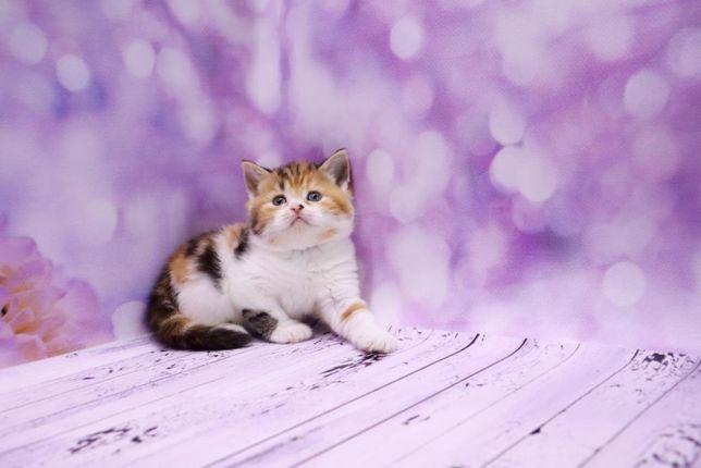 Чудный и нежный шотландский котёнок