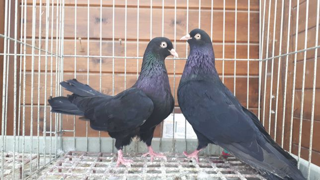 Rollery orientalne czarne