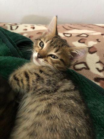Кошеня дівчинка 2 місяці