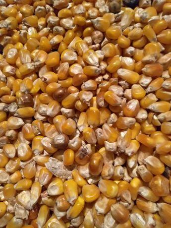 Sprzedam kukurydzę suchą