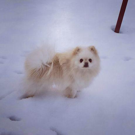 Szpic miniaturowy Pomeranian BOO