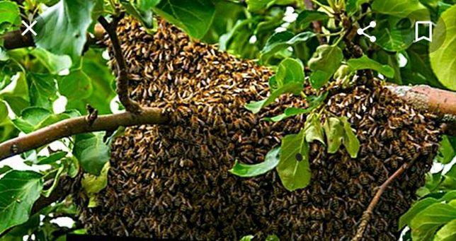Продам рої бджіл