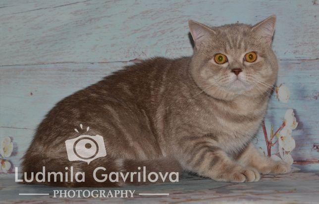Очаровательный котик шотландский скоттиш-страйт.