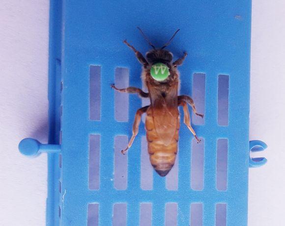 5+1 gratis matki pszczele nieunasiennione z Pasieki Miody Gucio