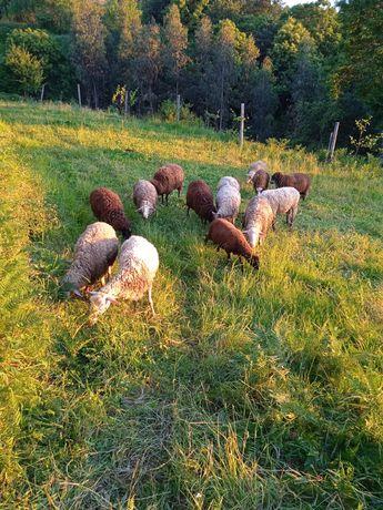 Várias ovelhas para venda