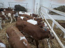 Dęblin byczki i jałóweczki mięsne