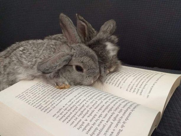 W czerwcu będę mieć młode króliki miniaturki baranki