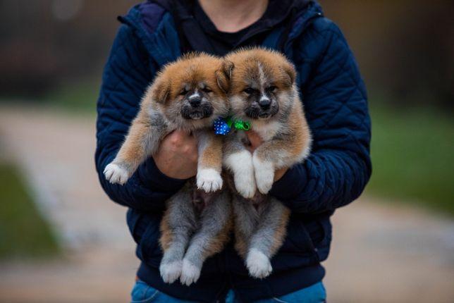 Замечательные малыши акита от красивой пары!