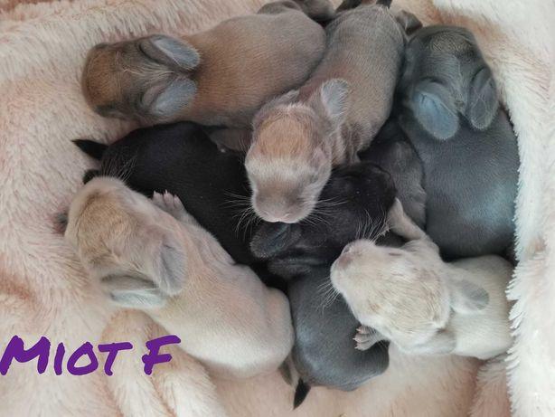 Mini lopy królik króliczek hodowla zarejestrowana