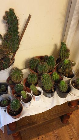 Kaktusy kwiaty doniczkowe