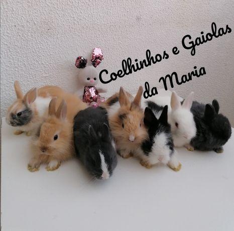 KIT Coelhos Anões Bebés,  Mini Toy, Holandês, Ãngora, Meigos