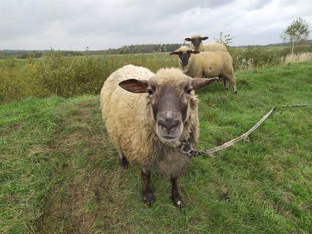 Sprzedam owce czarnogłówki