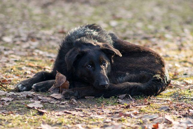 Віддам в добрі руки собаку підлітка Різі, крупненька.