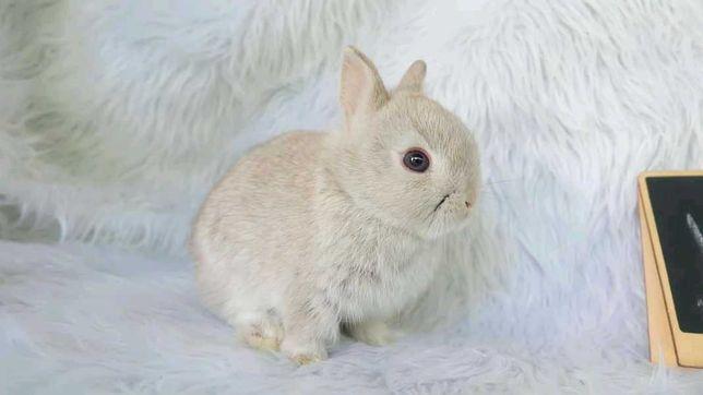 (KIT) Mini coelhos anões hôlandes, teddy, toy, lean head