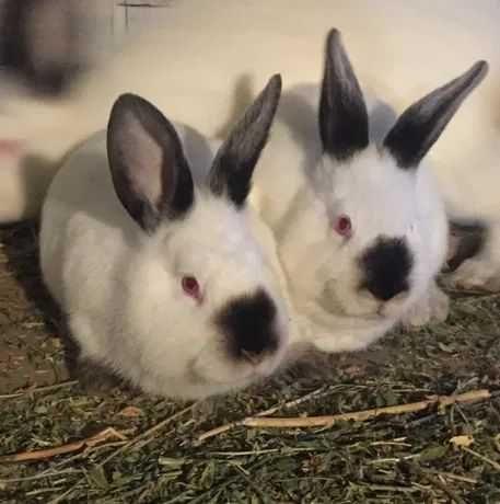 """Кролики породи """" Каліфорнія"""" на плем""""я"""""""