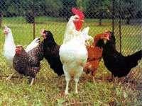 Инкубационное яйцо Доминант(куры несушки,Чехия, ПТИЦЕФАБРИКА!)