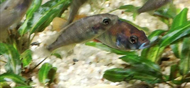 WYSYŁKA  Młode pyszczaki Haplochromis CH44