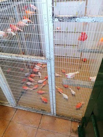 Canarios lipocromo Vermelho Mosaico e Vermelho Asa Branca
