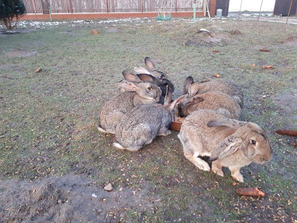 Sprzedam świeże tuszki królicze. Ekologiczne Tusze, Króliki.