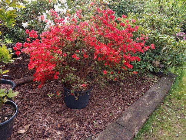 Azalia japońska, rododendron