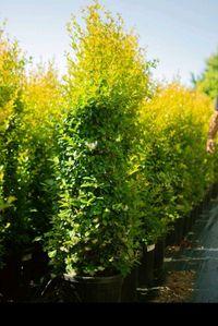 Eugenia Myrtifolia Newport 150/160CM 9L