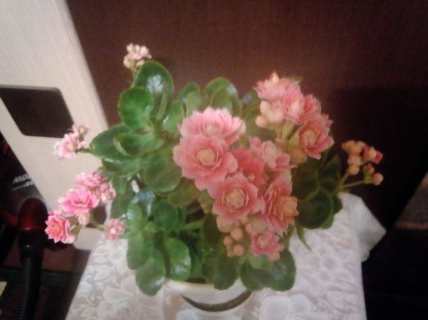 Черенки желтого и розового махрового Каланхоэ