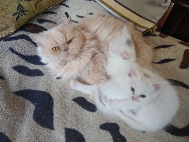 Котята турецкой ангоры и перса