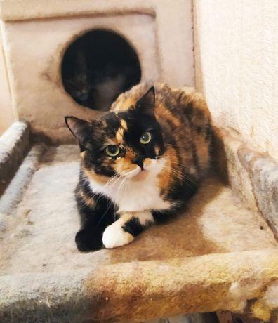 Отдам кошку трехцветку , стерилизована ,2 года