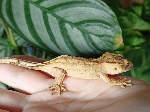 Gekon orzęsiony możliwa samica