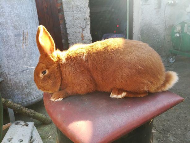 Młode nowozelandzkie czerwone NC króliki